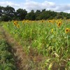 Field of sunflowers near Woodhall Spa