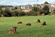 Calves near Luxulyan
