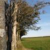 Beeches fringing Common Moor
