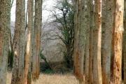 Old poplar plantation, Avon valley, Hanham