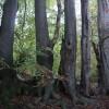 Beeches on edge of Banstead Wood