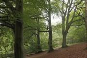 Beech trees near Banstead Wood