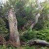 Yew tree near Fames Rough