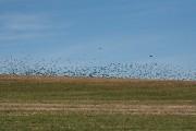 Bulkworthy: birds and stubble