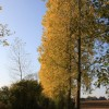 Yellow beeches
