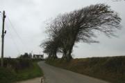 Wind-shaped tree near Thorne Farm