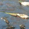 Brora: duck investigates debris