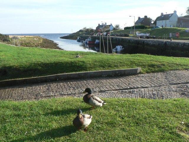 Brora: harbourside ducks