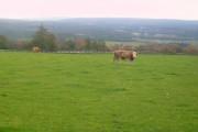 Cattle at Burnside