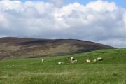 Lambs on Harehead Hill.