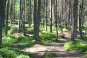 Woods by Falls of Bruar