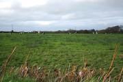 High Bickington: cattle grazing