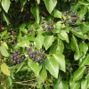 Ivy berries in a lay-by