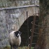 A Smiling Sheep poses next to Newfield Bridge