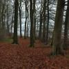 Beech trees on The Peak
