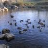 Mallards on the River Lune at Devil's Bridge