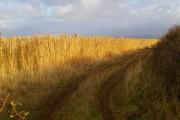Miscanthus field