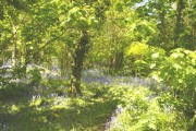 Penrose woods