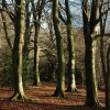 Beech trees on Crickley Hill