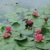 Water lilies, Dewstow Gardens