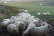 Terrified Sheep