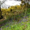 Bluebells and Gorse, Fordmill Farm