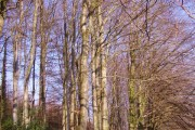 A stand of beech trees