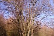 Coppiced beech tree