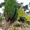 Conifers, Oldway mansion, Paignton