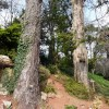 Gnarled tree trunks, Oldway mansion, Paignton