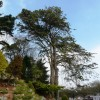 Tall trees, Oldway mansion, Paignton