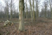 Thinning out the beeches