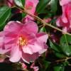 Camellia Portmeirion