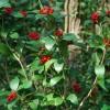 Skimmia japonica Portmeirion