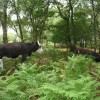 Cows grazing in birch woods at Bickerton