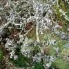 Lichens on hawthorn