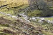 Sheep near Rearquhar