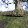 Root structure on old tree at Gwysaney