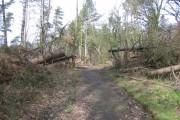 Wind blown trees at Gwysaney
