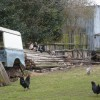 Free range poultry on an improvised perch