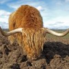 Highland cow, Gretna Green