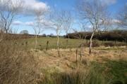Birches near Marshall Farm