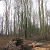 A felled birch