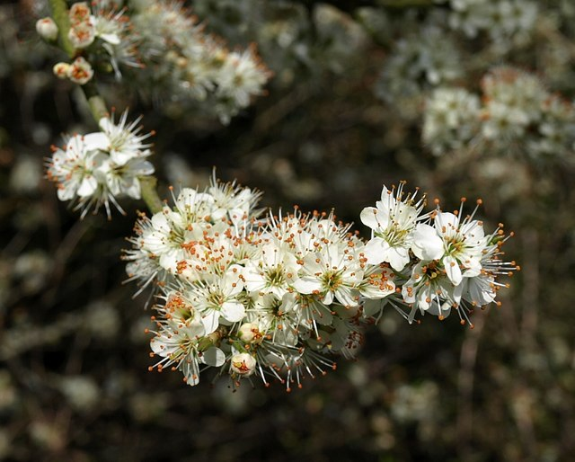 Blackthorn flowers, Preston Park