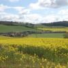 Oil seed rape fields near Trostrey Court