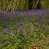 Bluebells, The Spains