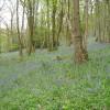 A Carpet of Bluebells in Calder Vale Woods.