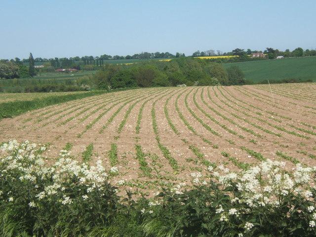 Field with young crop near Akenham