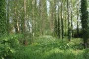 Poplar Tree Spinney