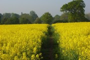 Footpath through oil-seed rape, Ruscombe